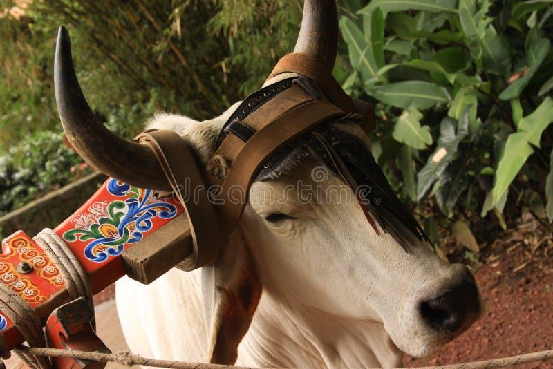 Αγροτική αγελάδα στη Κόστα Ρίκα στοκ φωτογραφία με δικαίωμα ελεύθερης χρήσης