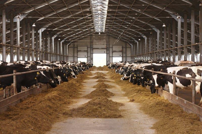 Αγροτική γεωργία αγελάδων στοκ φωτογραφία