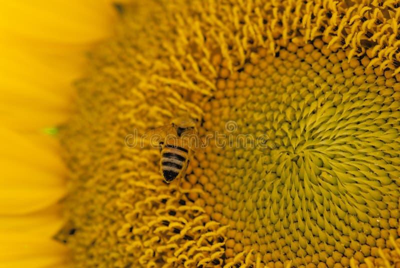 Αγροτική μέλισσα που κάνει τη φυσική καλλιέργεια στοκ φωτογραφίες με δικαίωμα ελεύθερης χρήσης