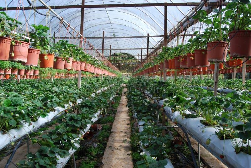 αγροτική φράουλα στοκ φωτογραφία με δικαίωμα ελεύθερης χρήσης