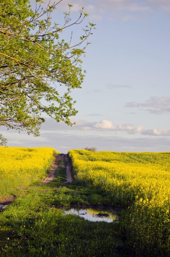 Αγροτικός δρόμος θερινού βραδιού και πεδίο βιασμών στοκ φωτογραφία με δικαίωμα ελεύθερης χρήσης