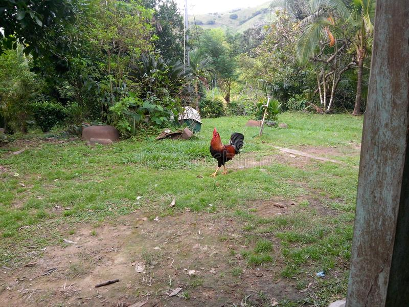Αγροτικός κόκκορας στοκ εικόνα με δικαίωμα ελεύθερης χρήσης
