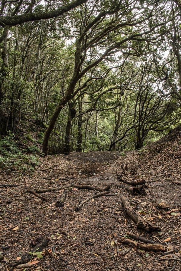 Αγροτικό πάρκο anaga δαφνών δασικό ν, Tenerife στοκ εικόνες