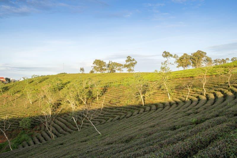 αγροτικό πράσινο τσάι στοκ εικόνες