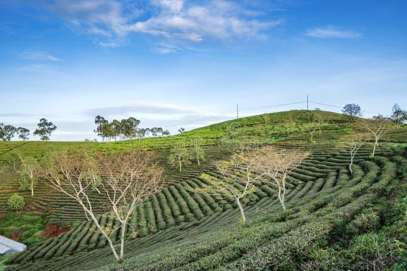 αγροτικό πράσινο τσάι στοκ εικόνα με δικαίωμα ελεύθερης χρήσης