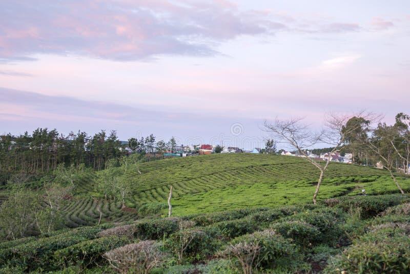 αγροτικό πράσινο τσάι στοκ φωτογραφία