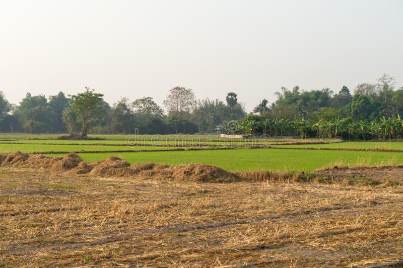 Αγροτικό ρύζι με το χρόνο πρωινού στοκ εικόνες με δικαίωμα ελεύθερης χρήσης