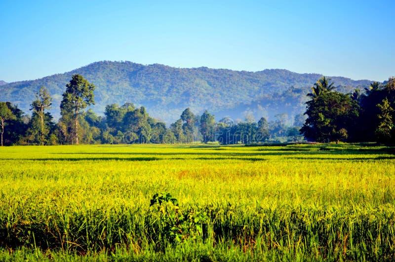αγροτικό ρύζι στοκ εικόνα