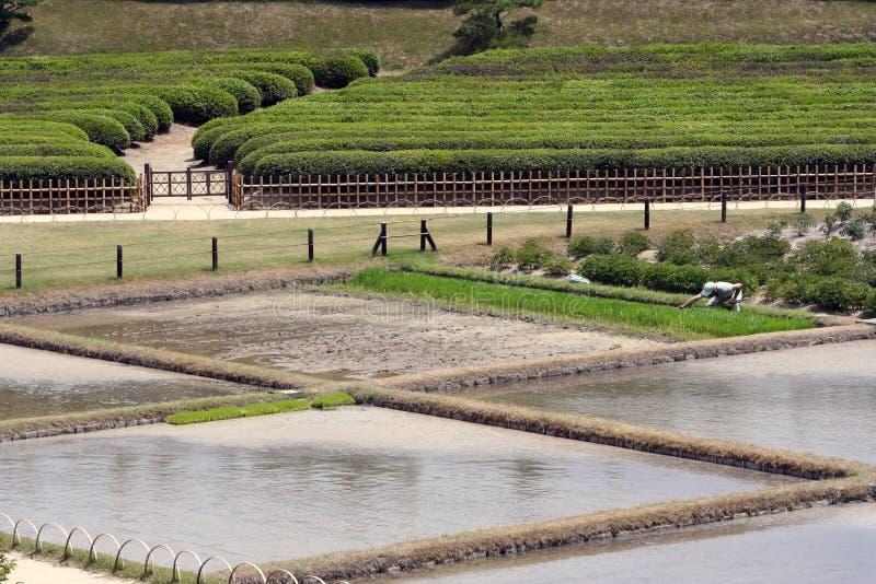 αγροτικό ρύζι στοκ εικόνες με δικαίωμα ελεύθερης χρήσης