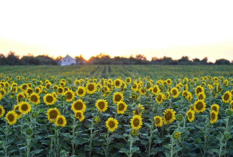 Αγροτικό τοπίο ηλιοβασιλέματος με έναν χρυσό τομέα ηλίανθων στοκ φωτογραφίες με δικαίωμα ελεύθερης χρήσης