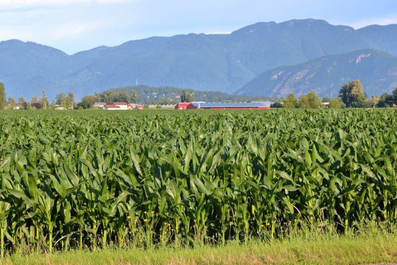 Αγροτικό τοπίο και επιτυχής συγκομιδή καλαμποκιού στοκ εικόνες με δικαίωμα ελεύθερης χρήσης