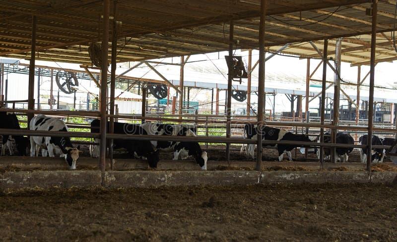 Αγρόκτημα αγελάδων, kibbutz χωριό στοκ εικόνα με δικαίωμα ελεύθερης χρήσης