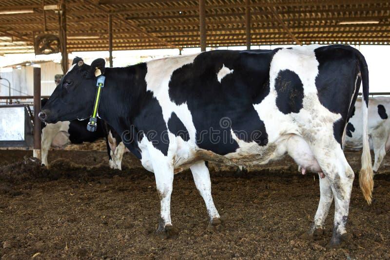 Αγρόκτημα αγελάδων, kibbutz χωριό στοκ εικόνες