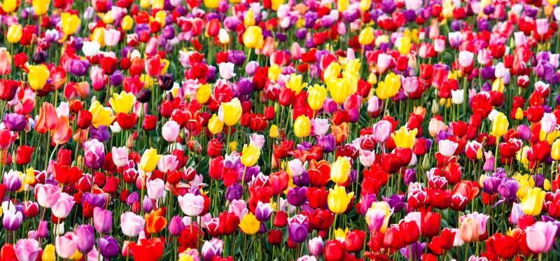 Αγρόκτημα βολβών της τακτοποιημένης σειρών τουλιπών ζωηρόχρωμης λουλουδιών Farmer πετάλων στοκ εικόνες