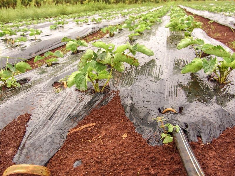 Αγρόκτημα γεωργίας του τομέα φραουλών στοκ φωτογραφίες