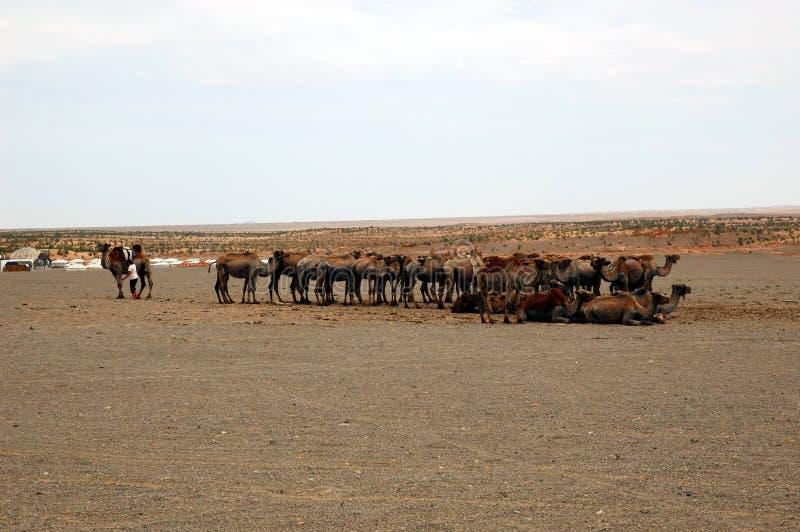 Αγρόκτημα καμηλών στη Gobi έρημο στοκ φωτογραφία με δικαίωμα ελεύθερης χρήσης