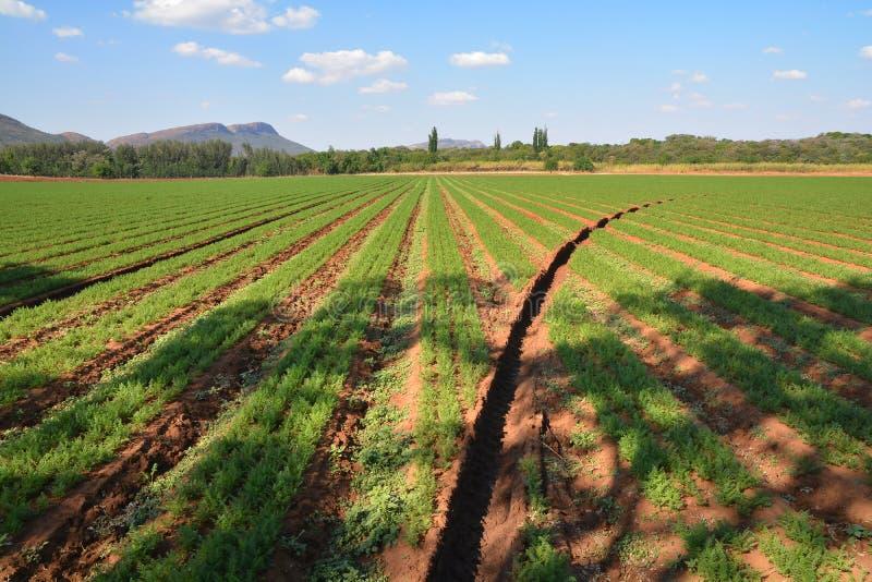Αγρόκτημα καρότων στοκ εικόνες