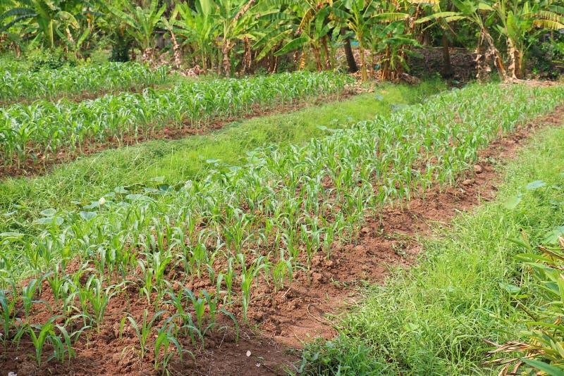 Αγρόκτημα καλαμποκιού στοκ φωτογραφία με δικαίωμα ελεύθερης χρήσης