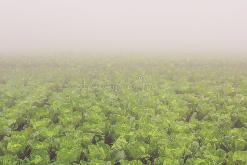 Αγρόκτημα κινεζικών λάχανων στοκ φωτογραφίες με δικαίωμα ελεύθερης χρήσης
