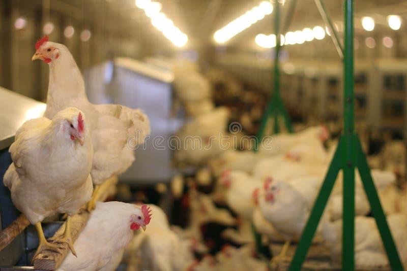 αγρόκτημα κοτόπουλου στοκ εικόνα