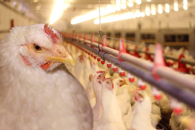 αγρόκτημα κοτόπουλου στοκ φωτογραφία με δικαίωμα ελεύθερης χρήσης
