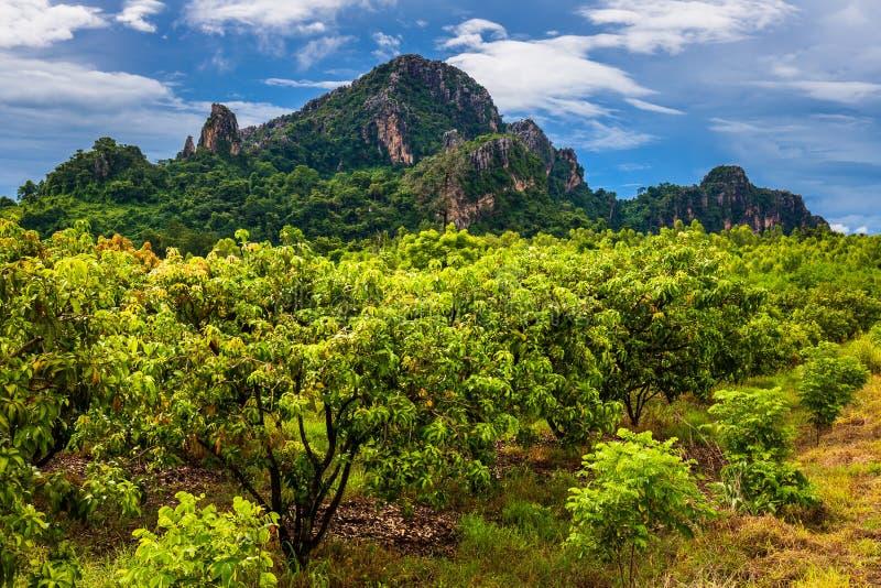 Αγρόκτημα μάγκο στην Ταϊλάνδη στοκ φωτογραφίες με δικαίωμα ελεύθερης χρήσης