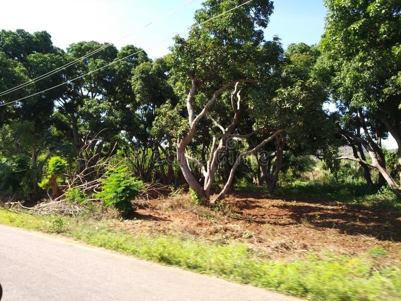 Αγρόκτημα μάγκο στοκ φωτογραφίες