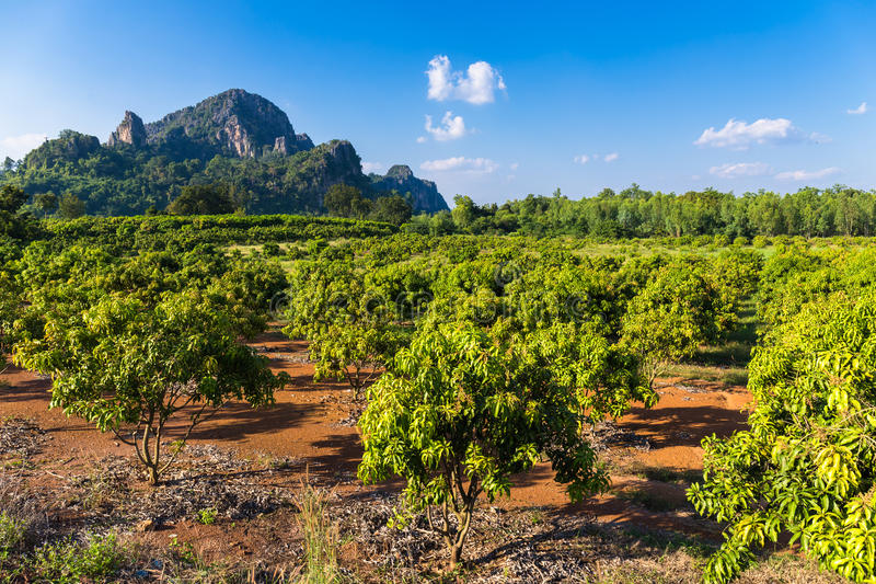 Αγρόκτημα μάγκο στοκ εικόνες με δικαίωμα ελεύθερης χρήσης