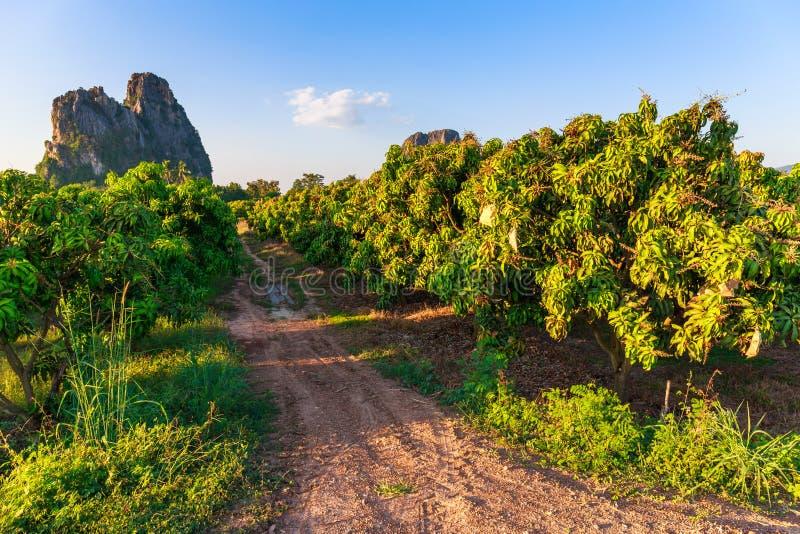 Αγρόκτημα μάγκο στοκ φωτογραφία