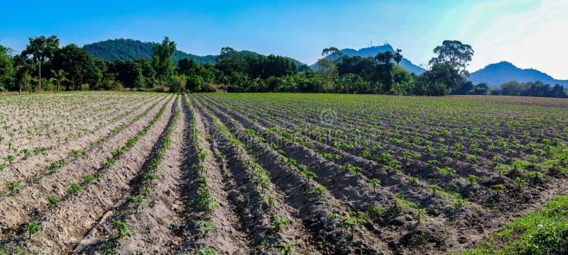 Αγρόκτημα μανιόκων σε Chonburi, Ταϊλάνδη στοκ φωτογραφίες με δικαίωμα ελεύθερης χρήσης