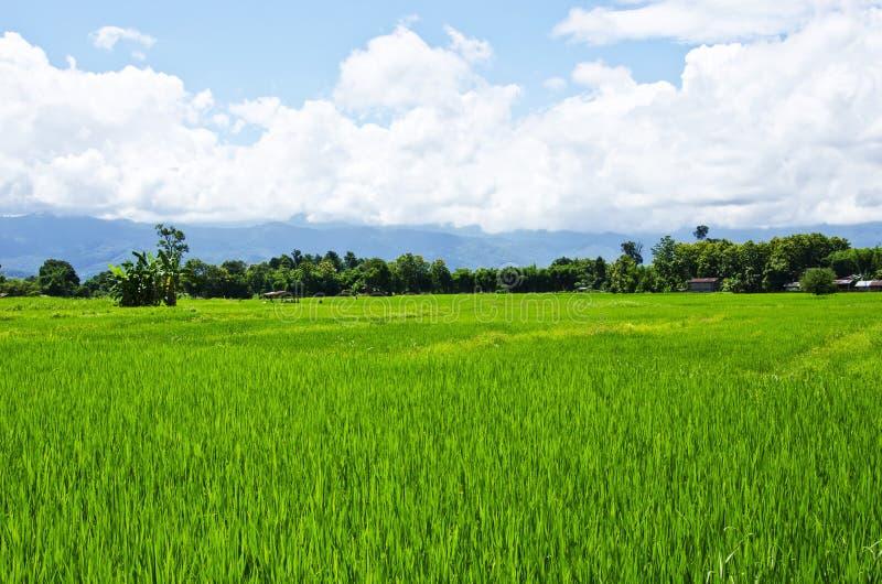 Αγρόκτημα οκτώ ρυζιού στοκ εικόνες με δικαίωμα ελεύθερης χρήσης