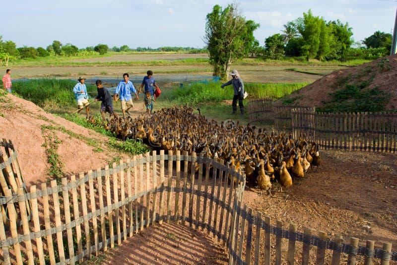 αγρόκτημα παπιών στοκ εικόνες