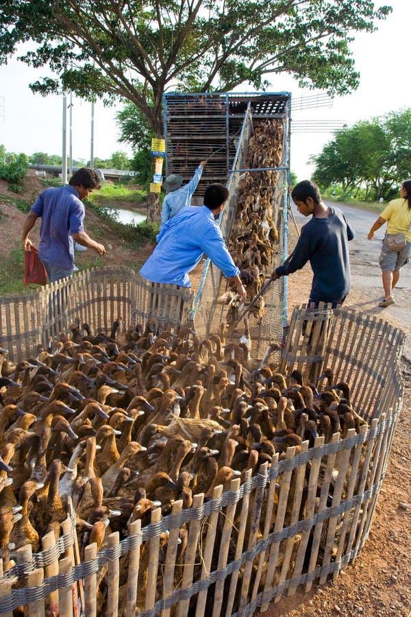 αγρόκτημα παπιών στοκ φωτογραφία με δικαίωμα ελεύθερης χρήσης
