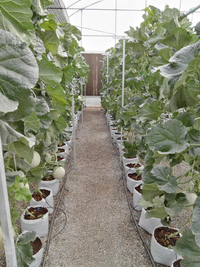 Αγρόκτημα πεπονιών στοκ εικόνα με δικαίωμα ελεύθερης χρήσης