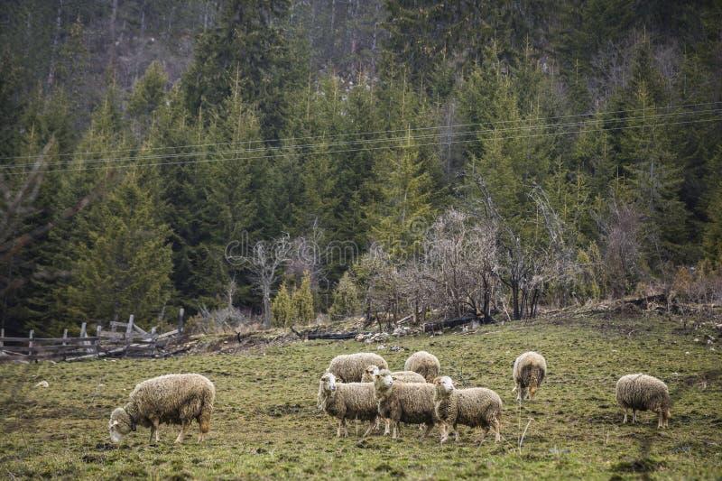 Αγρόκτημα προβάτων στοκ φωτογραφία με δικαίωμα ελεύθερης χρήσης