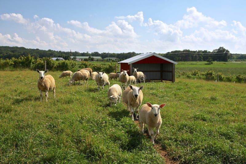 Αγρόκτημα προβάτων στοκ εικόνες με δικαίωμα ελεύθερης χρήσης