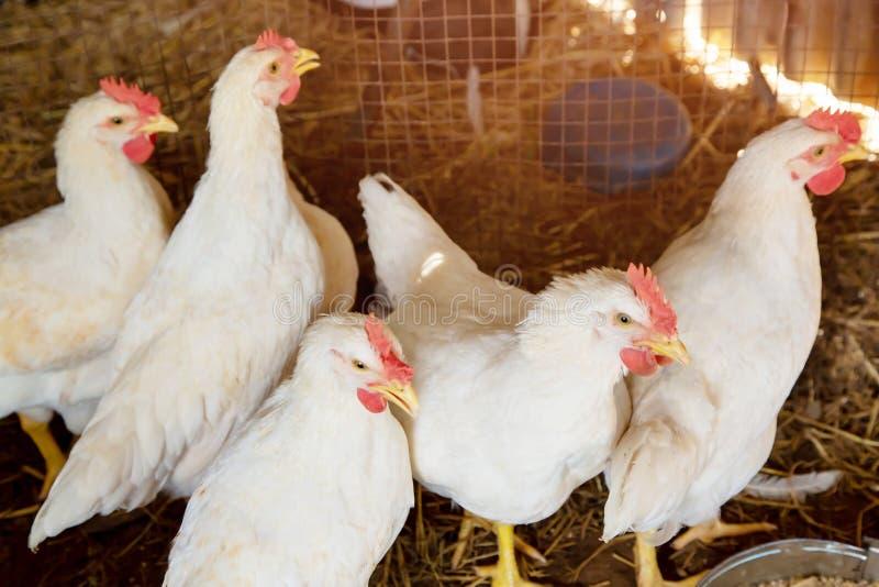 Αγρόκτημα σχαρών πουλερικών και ομάδα άσπρων κοτόπουλων στο αγρόκτημα κατοικίας αποθεμάτων γονέων κλουβιών στο εσωτερικό στοκ εικόνες