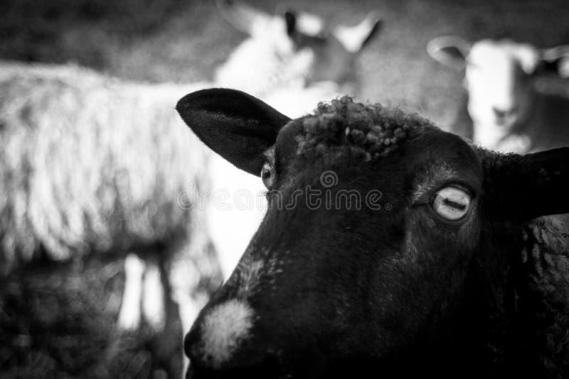 Αγρόκτημα του Βερμόντ κινηματογραφήσεων σε πρώτο πλάνο προβάτων στοκ φωτογραφίες με δικαίωμα ελεύθερης χρήσης