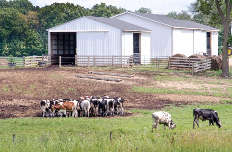 Αγρόκτημα του Μίτσιγκαν με τις ευτυχείς αγελάδες στοκ εικόνες με δικαίωμα ελεύθερης χρήσης