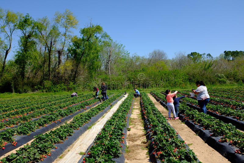 Αγρόκτημα φραουλών στο αγρόκτημα φραουλών Froberg στην πόλη του Alvin, Τέξας στοκ εικόνες