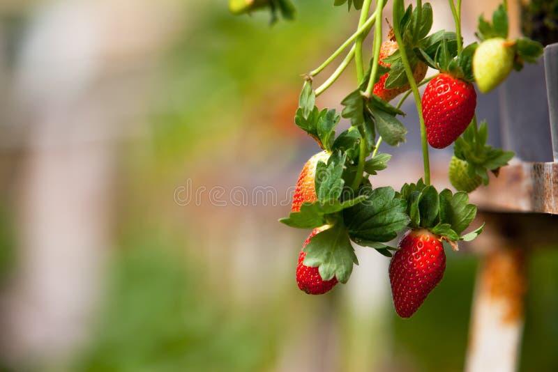 Αγρόκτημα φραουλών στοκ φωτογραφίες με δικαίωμα ελεύθερης χρήσης
