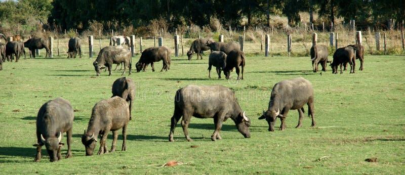 Αγρόκτημα Bufale στοκ φωτογραφία με δικαίωμα ελεύθερης χρήσης