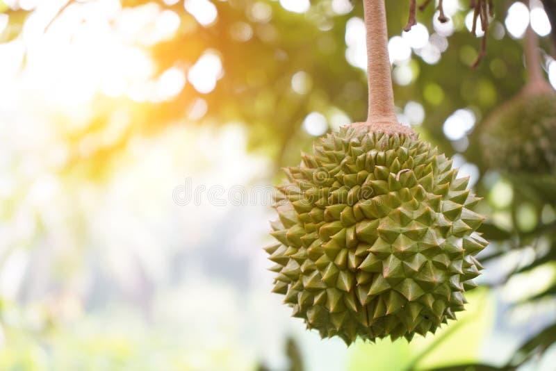 Αγρόκτημα Durian, musang βασιλιάς στην εστίαση στοκ φωτογραφίες με δικαίωμα ελεύθερης χρήσης