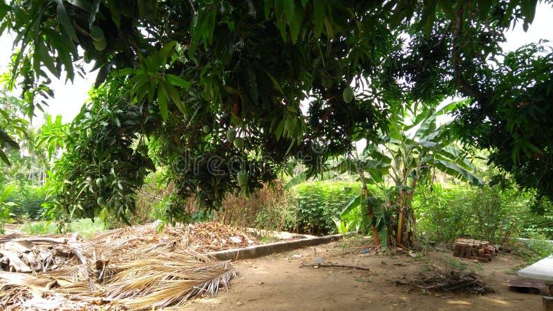 Αγρόκτημα inTapioca δέντρων μάγκο στοκ εικόνα με δικαίωμα ελεύθερης χρήσης