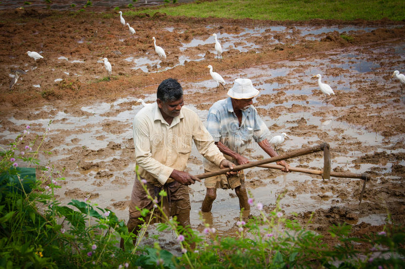 Αγρότες που εργάζονται στους τομείς ρυζιού στοκ εικόνες
