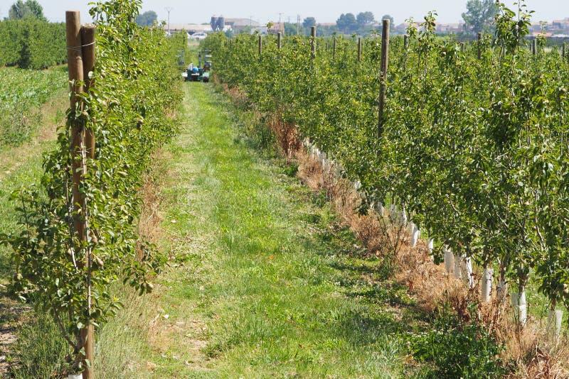 Αγρότες που καθαρίζουν τη φυτεία αχλαδιών, lerida στοκ φωτογραφίες