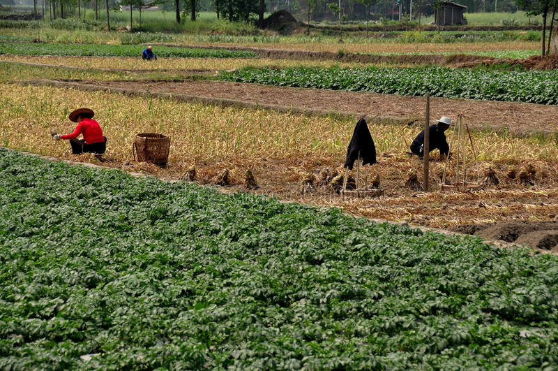 Pengzhou, Κίνα: Αγρότες που εργάζονται στον τομέα στοκ εικόνες