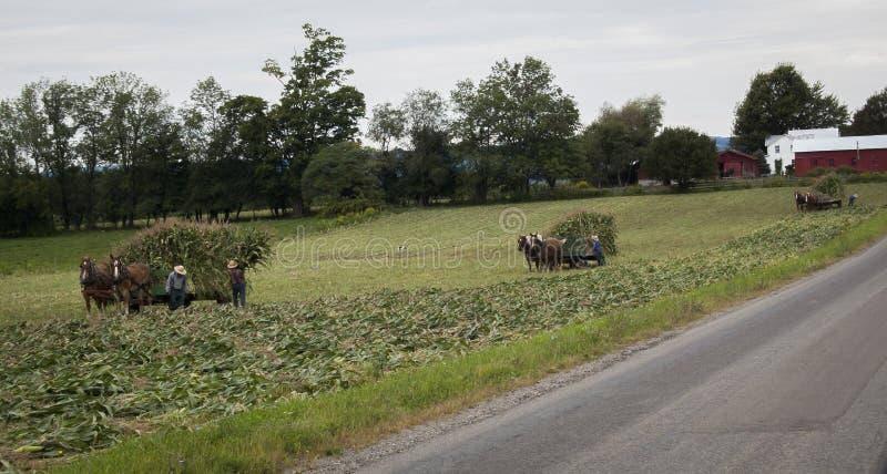 Αγρότες Amish που συγκομίζουν τη σειρά καλαμποκιού στοκ φωτογραφία με δικαίωμα ελεύθερης χρήσης