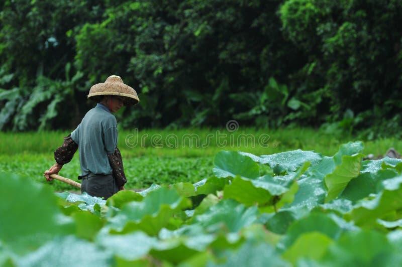Αγρότης λιμνών Lotus στοκ φωτογραφίες