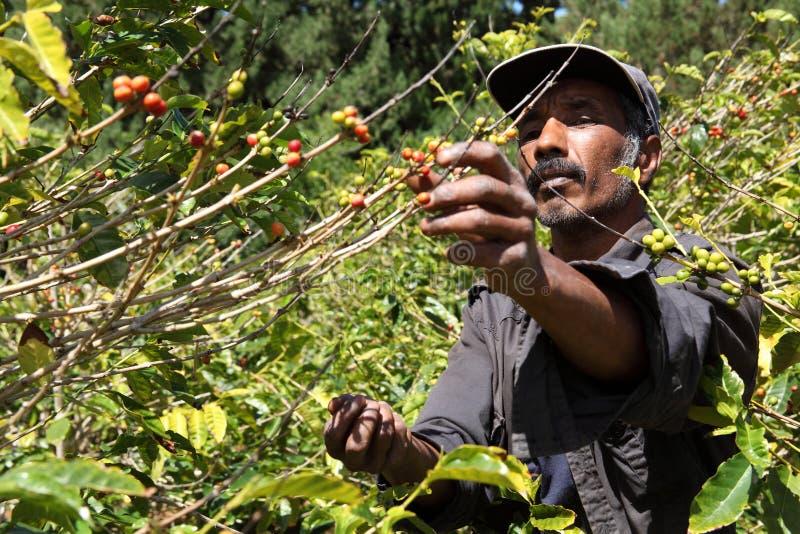Αγρότης καφέ της Σάντα Έλενα που επιλέγει τα ώριμα φασόλια κερασιών στοκ εικόνες